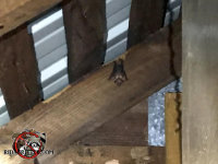 Single bat hanging from a rafter in what looks like an attic, although it could be a barn