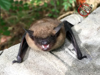 A bat, facing the camera, snarling, held in a technician's gloved hand