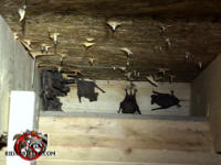 A handful of bats in the eave between the rafters of a house in Vestavia Hills Alabama will be removed by a Birmingham are bat removal company.