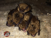 A group of six little brown bats tightly huddled in an attic found during a bat-removal job