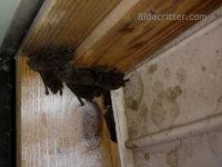Bats by a fan in an attic at a bat control job in Bessemer, Alabama