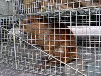 Beaver in a trap awaiting relocation, caught during a Peachtree City beaver control job