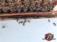 Honey bee nest in an opened ceiling void with a handful of bees walking on the adjacent wall of a house in Birmingham Alabama.