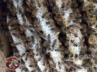 Honey bee hive with bees crawling over the combs between the floor joists in the crawl space of a house in Dunwoody Georgia