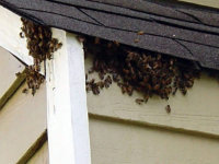 Honeybees under the eaves of a roof in Acworth, Georgia