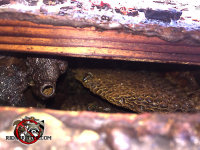 Honey be nest inside the soffit of a house in Birmingham Alabama