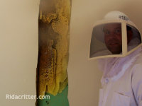 man in a bee suit standing next to an exposed honey bee nest in a wall in Trussville