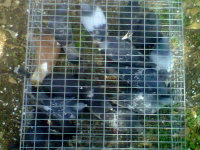 Many pigeons in a trap after a pigeon removal job in a barn