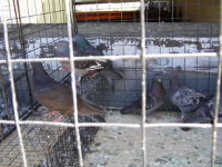 Pigeons in a cage after a pigeon removal job in Hampton, Georgia