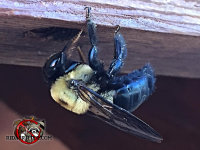 Carpenter bee drilling a hole in a piece of wood