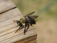 Carpenter bee on a wooden deck in Jackson County, Georgia