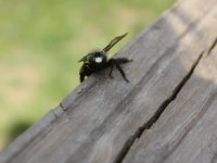 Carpenter bee on a wooden deck in Powder Springs, Georgia