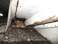 View along a roof at a hole through which flying squirrels were getting into a house