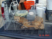 Two foxes in a trap after being removed from Decatur, Georgia