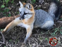 Gray fox in a leg hold trap awaiting its removal from the back yard of a house in Chattanooga Tennessee.