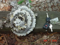 Baldfaced hornets' nest removed from Rockmart, Georgia