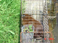 Muskrat in a box trap in LaGrange, Georgia