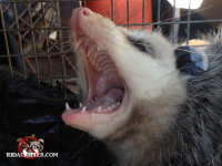 An opossum in a trap snarling after having been removed from a home