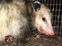 Opossum in a cage trap after being trapped and removed from a house in Roswell Georgia
