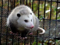 An opossum in a trap awaiting humane relocation