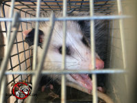 Front view of a young opossum in a live trap after being removed from a home