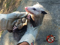 A young, unafraid opossum being gently held in the gloved hands of an animal trapper