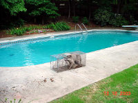 Raccon in a trap on the deck of a residential pool in Loganville, Georgia