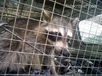 Young raccoon in a cage trap in a vehicle after being removed from a home in Heflin, AL
