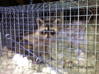 Raccoon in a trap waiting to be removed from an attic in Hoover, Alabama