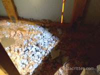 Damage to sheetrock and insulation found at Oxford, Alabama raccoon removal job
