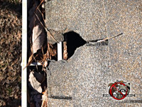 Raccoons tore a hole through the shingles and sheathing of the roof of a house in Dunwoody Georgia