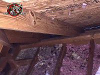 Droppings and dirty, flattened out insulation are evidence of a raccoon problem in the attic
