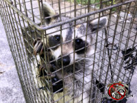 Young raccoon in a cage trap looking at the camera after being removed from a house in Hoover Alabama