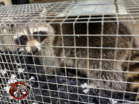 Raccoon in a cage trap after being removed from a house in Dunwoody Georgia