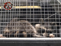 Young raccoon lying in a cage looking very relaxed after being removed from a house in Dunwoody Georgia