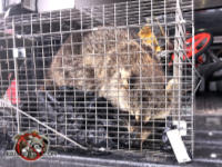 Young raccoon in a cage trap appears to be sleepy after being removed from the attic of a house in Vestavia Hills Alabama