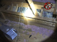 Raccoon trap with end doors closed in the unfinished attic of a house in Roswell Georgia