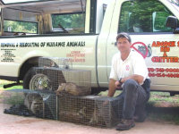 Animal control expert with several traps filled with raccoons captured in Austell, Georgia