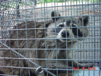 Raccoon in a trap after being caught during a LaGrange, Georgia raccoon control job