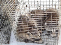Raccoons in a cage, captured in Gainesville, Georgia