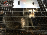 Young raccoon in a trap awaiting relocation after being removed from a house