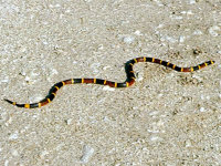 Coral snake trapped south of Columbus, Georgia