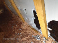 Squirrel damage to wall boards in in attic in Oxford, Alabama
