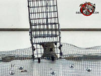 Squirrel walking into a funnel trap