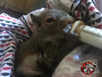 Baby squirrel in a blanket drinking from a small animal baby bottle after being found in a house in Hoover Alabama