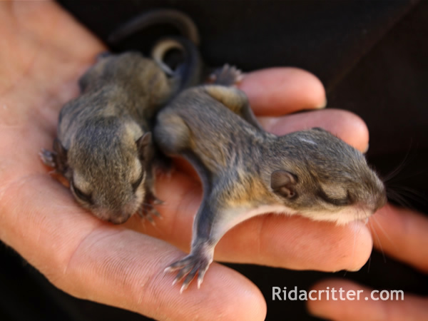 Two baby flying squirrels in an squirrel-removal technician's hand