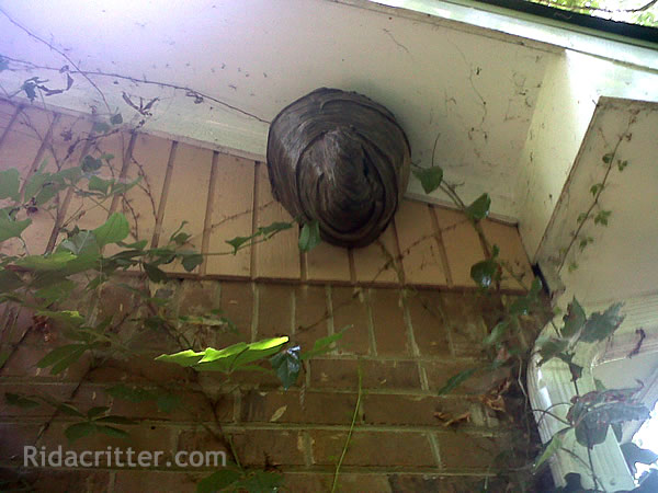 Hornets nest under a roof soffit in Atlanta, Georgia