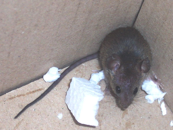 House Mouse in Corner