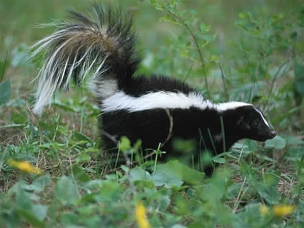 A striped skunk walking through a field