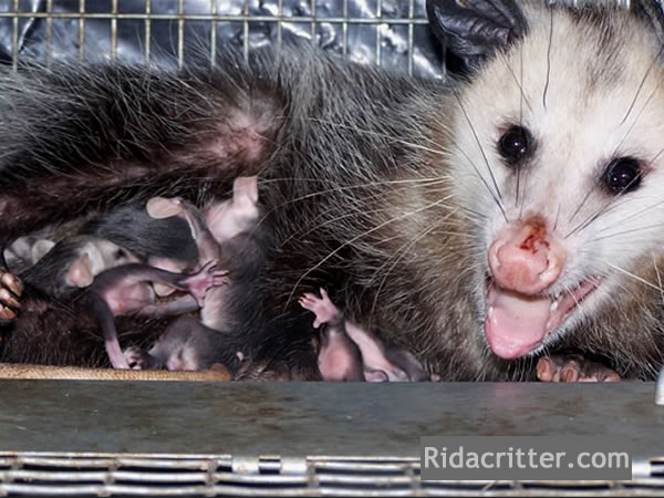 Mother opossum and young trapped in Atlanta, Georgia